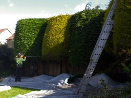 Hedge trimming & shaping