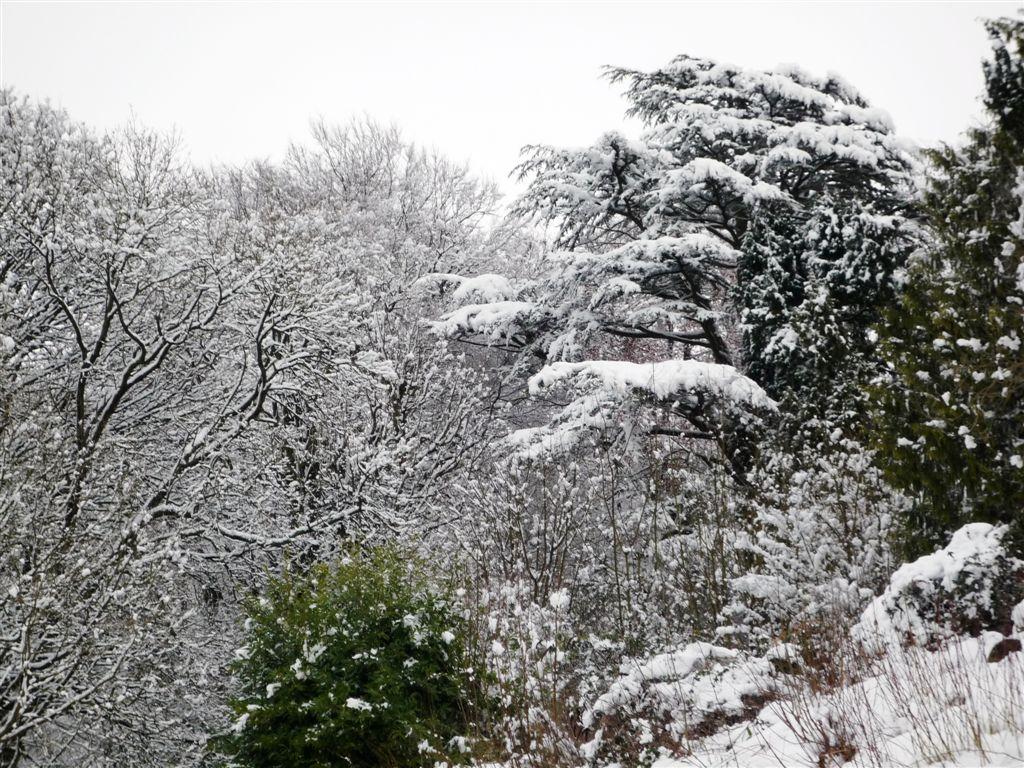 Snow-laden Cedar