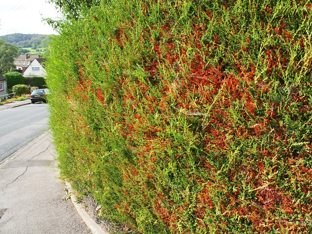 Quite early Cypress aphid damage on golden Leylandii ('Castlewellan')
