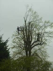 Large Lime tree halfway through a crown reduction