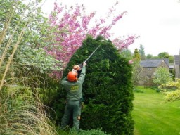 Careful trimming of an overgrown conifer