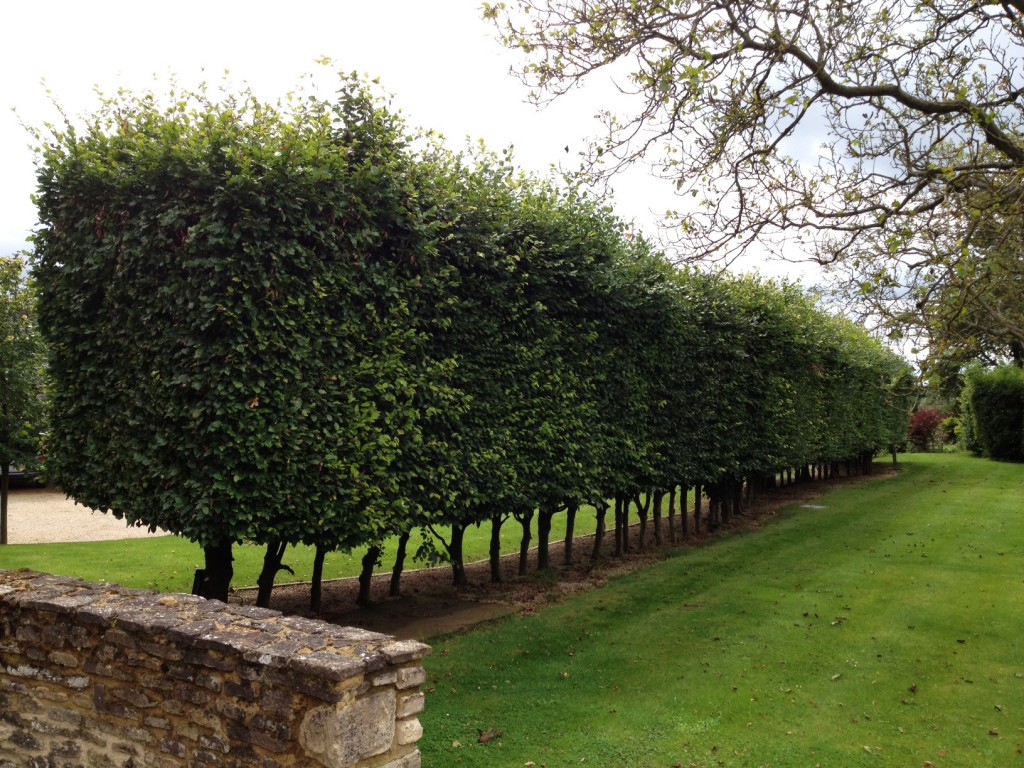 Beech hedge in need of a trim