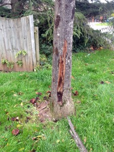 Dead Norway Maple following colonisation by Honey Fungus
